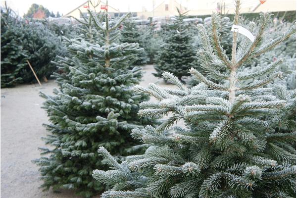 echte kerstboom kopen | Nordmann