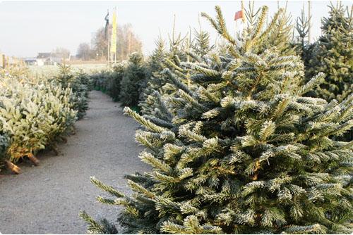 Echte kerstboom Oost Vlaanderen