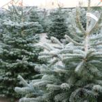 Kerstboom soorten Nordmann met vorst