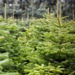 Kerstboom kopen Nordmann