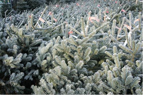 Echte Kerstboom Kopen Meer Dan 1000 Kerstbomen Staan Voor Je Klaar