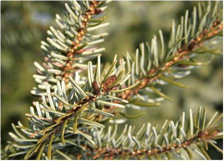 Picea omorika - echte kerstboom kopen