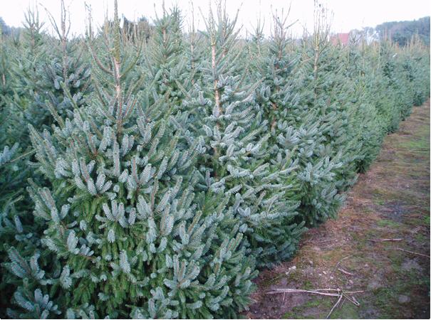 Kerstboom kopen Oost Vlaanderen