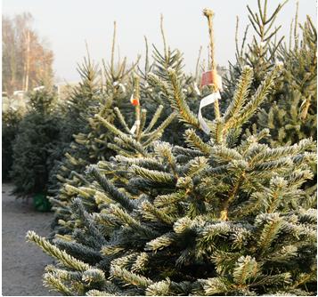 echte Nordmann kerstboom kopen