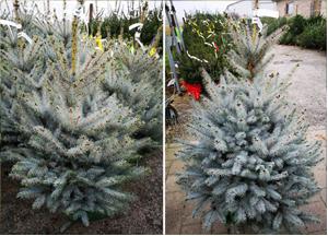 Echte kerstboom met blauwe naalden